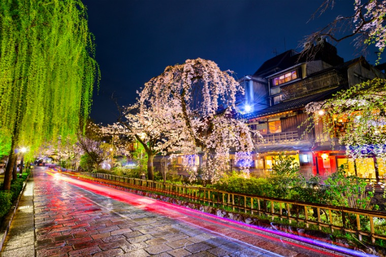 Standing beneath the cherry blossoms of Kyoto