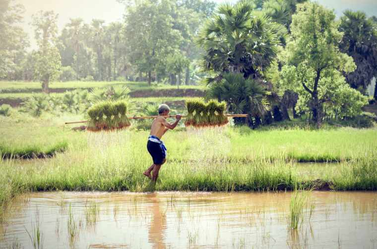 Farmers grow rice in the rainy season, Sa Pa, Vietnam