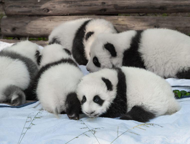 Baby panda bears together