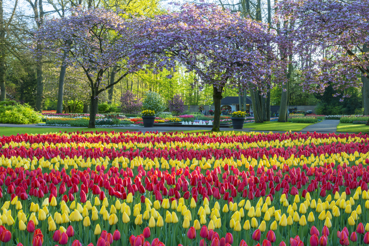 Keukenhof flower festival during spring