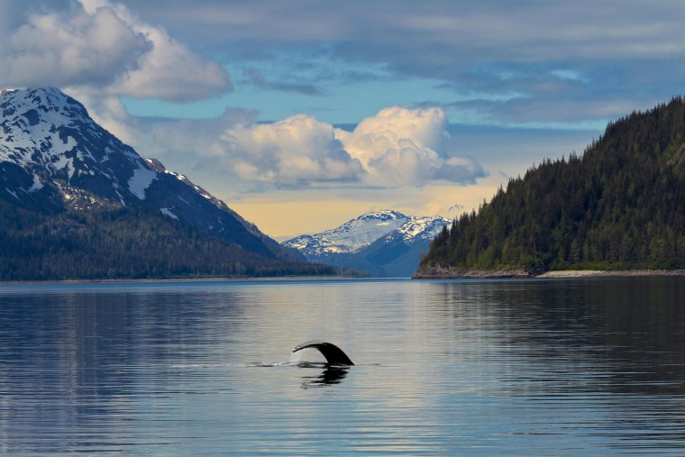 Cunard Alaska, lacier Bay National Park Alaska,Whale in calm waters Alaska