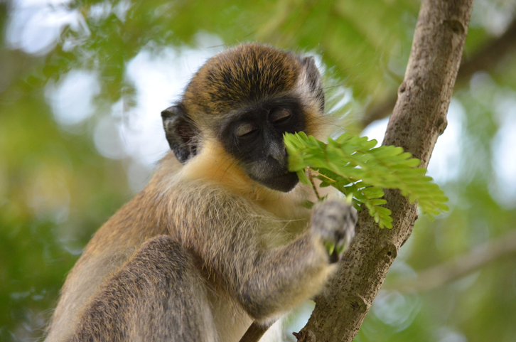 Green Monkey in Barbados tree