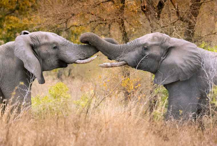 African Elephants with entwined trunks in the wild