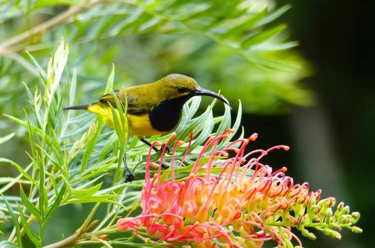 Male Olive backed Sunbird in Daintree Rainforest