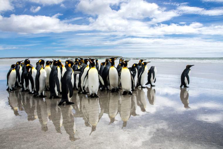 Waddle of King penguins on Falkland Islands beach