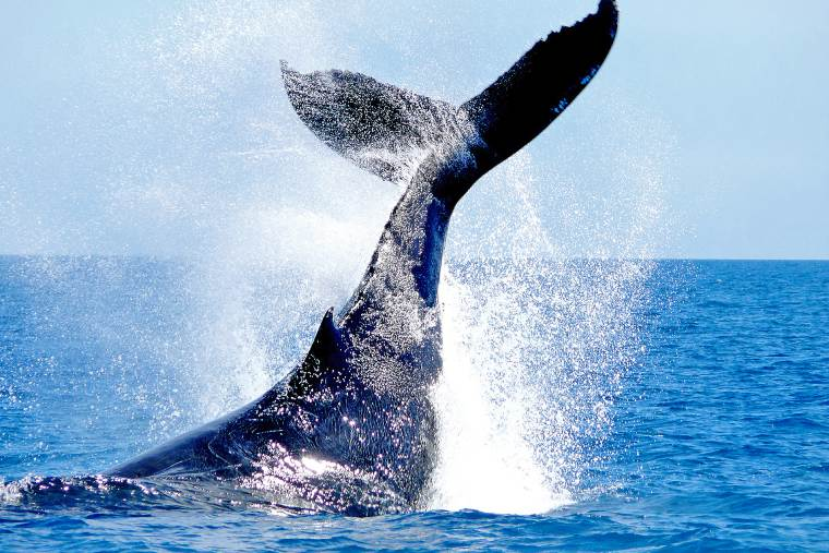 Whale watching and humpback whales