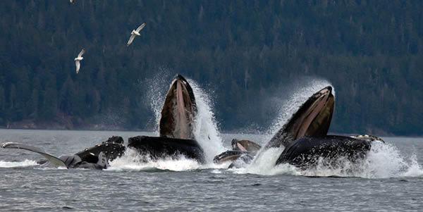 Humpback whales in Juneau
