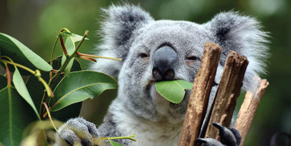 Koala at sanctuary in Brisbane
