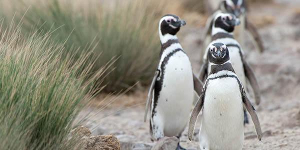 Penguins in Magdalena