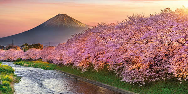 Cherry Blossom and Fuji Mountain
